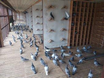 перші голуби з Німеччини